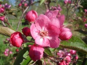Цветущая яблонька