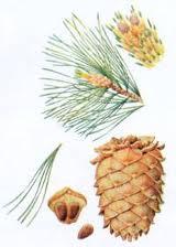 Кедровая шишка