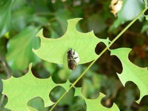 Одиночные пчелы