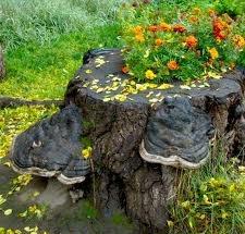 Пень в саду