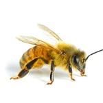 пчелы-опылители