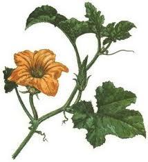 Цветки тыквы