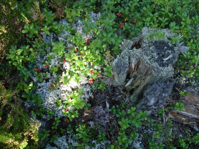 брусника в лесу