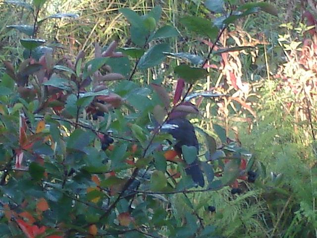 дрозд в саду
