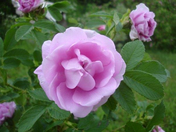 Розы, жизнь в деревне