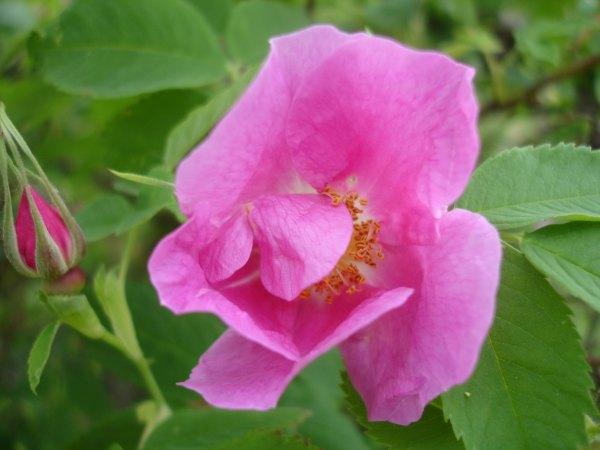 Розы, жизнь в деревне, фотографии лето