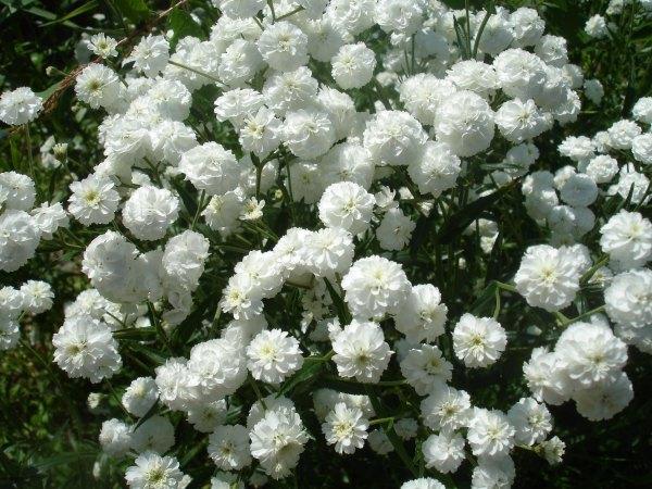 В саду, многолетние цветы