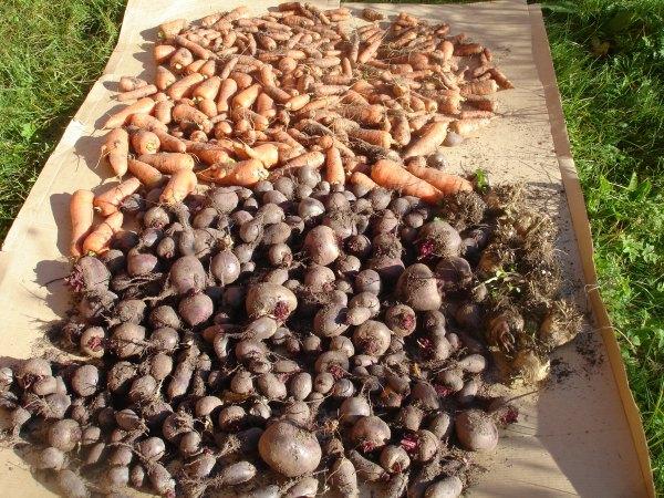 Жизнь в деревне, урожай свеклы,  урожай моркови, корнеплоды