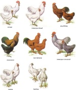 Стандарты пород кур, жизнь в деревне, живность, куры