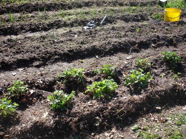 зеленый блог, уход за клубникой