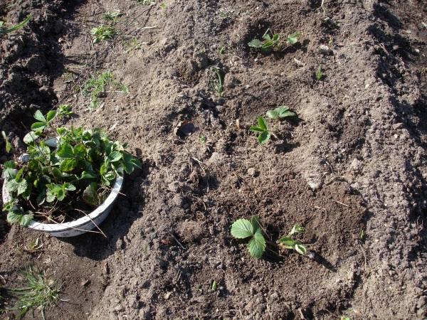 рассада клубники, зеленый блог