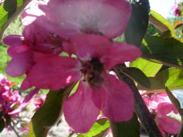 пчелки осмии, яблоня
