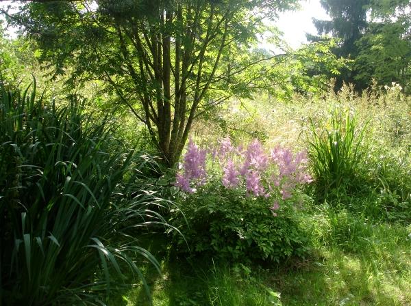 астильба в ландшафтном дизайне, зеленый блог