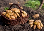 зеленый блог, посадка картофеля, выращивание овощей