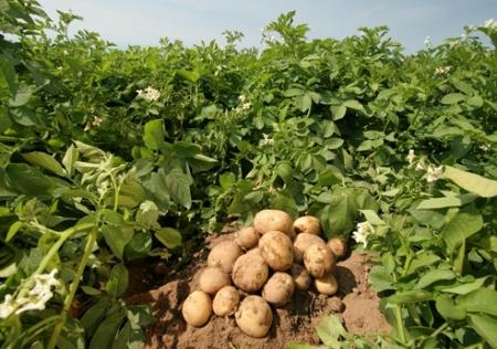 посадка картофеля, выращивание овощей