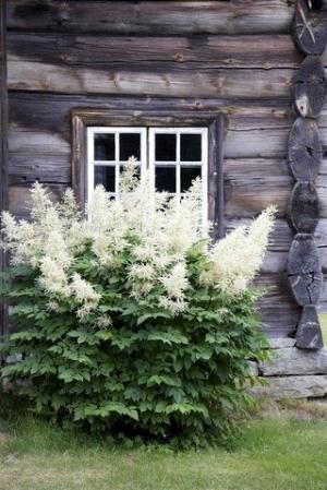зеленый блог, в саду, астильба