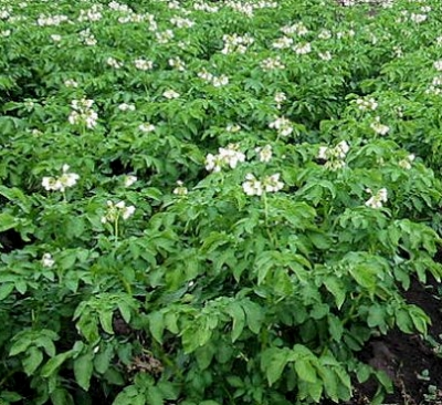 выращивание овощей, картофель