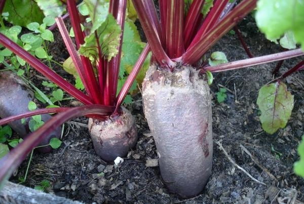 урожай свеклы, выращивание овощей, зеленый блог