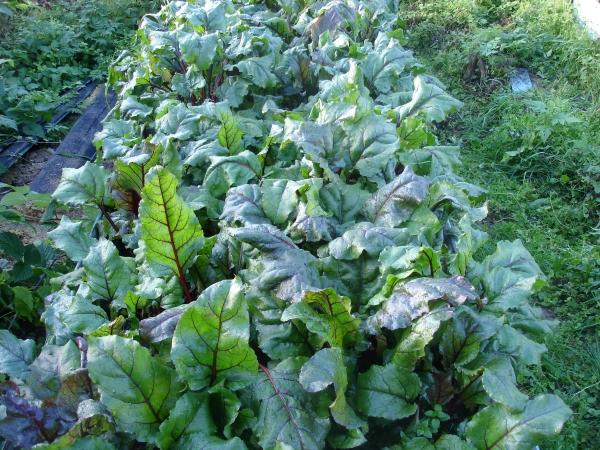 выращивание овощей, свекла, ботва свеклы