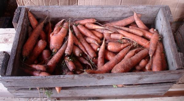 урожай моркови, овощи, зеленый блог