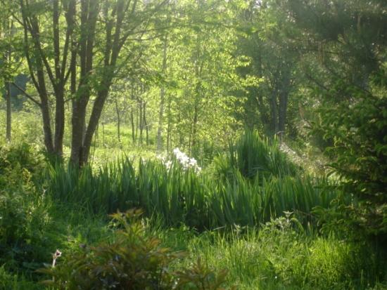 луковица, нарцисс,цветок, тюльпан, в саду, зеленый блог
