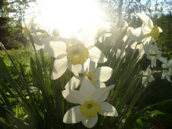луковица, нарцисс, цветок, тюльпан, в саду