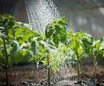 рассад полив, зеленый блог огород