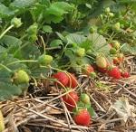 зеленый блог, плоды и ягоды