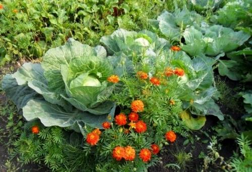 Капуста белокочанная вредители, выращивание в открытом грунте