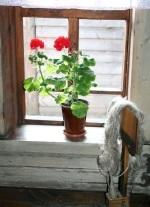 герань черенкование весной