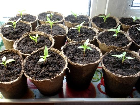 выращивание рассады перцев